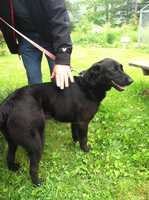 The Lincoln County Animal Control Office is looking for information on 1-year-old black lab found covered with pellets from a BB gun.