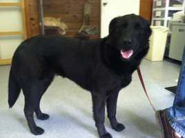 The stray lab was found two weeks ago wandering behind a home in Waldoboro and taken to the Lincoln County Animal Shelter, where a vet discovered 80-100 BBs under the dog's face, back and legs.
