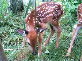 Three fawns and many other young animals have already been brought to the park this year.