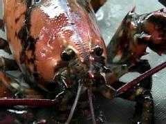 Odds of finding a calico lobster is also one in 30 million.