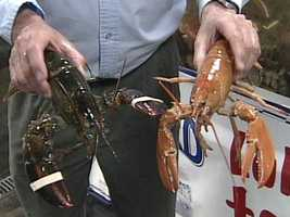 The odds of catching a live red lobster are one in 10 million.