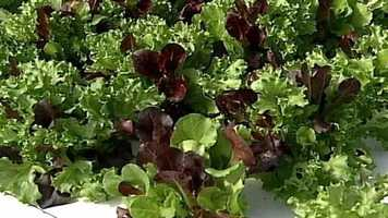 You may not know it, but the next locally-grown head of lettuce you buy may have been grown in fish waste.