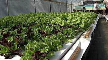 The waste, once it is filtered, creates an organic fertilizer that flows through the vegetables' root system under floating rafts.