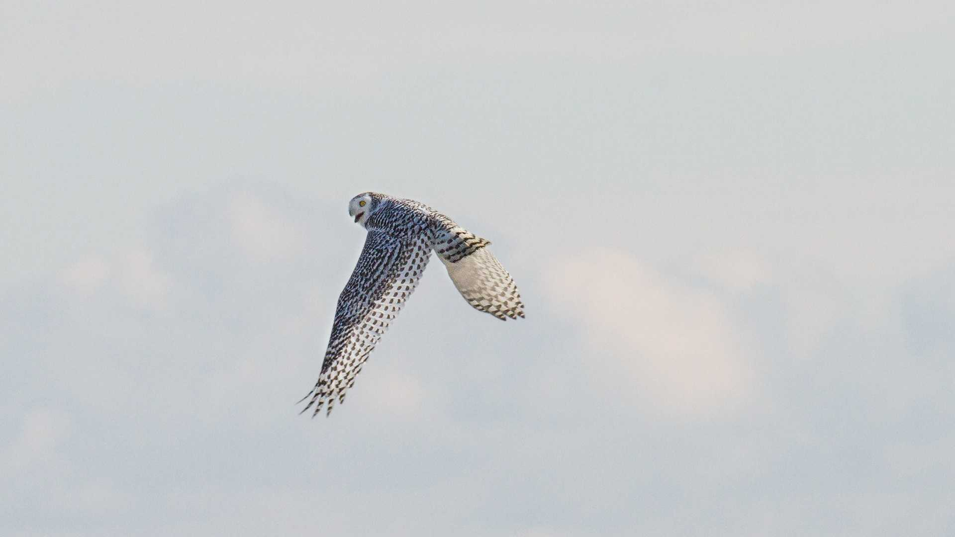 The Center for Wildlife in Cape Neddick released a Snowy Owl back into the wild on Saturday. Click through to see more photos.