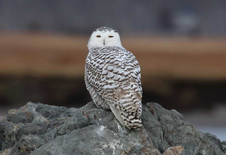 Snowy Owl near the boat launch at Salisbury Beach Sunday morning.