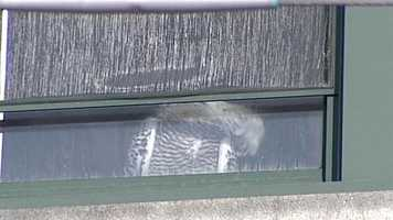 The Maine Audubon Society said more baby snow owls were born this year, and they have been seen as far south as Florida.