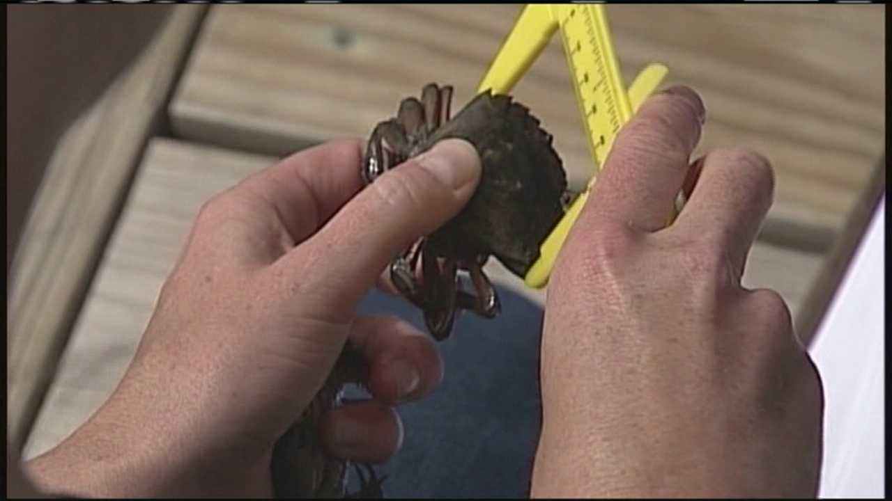 img-Problems arise in green crab study