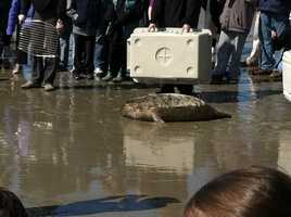 On April 1, 2012 MARC released 2 seals back into the ocean
