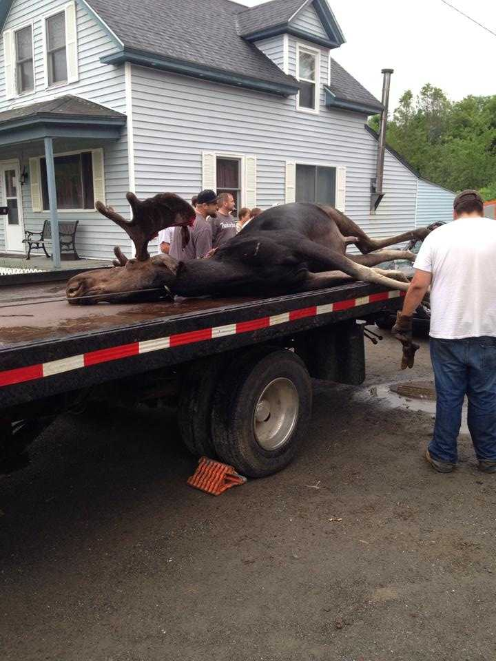 Ashley Stoddard took the pictures seen with this story. She said a lot of people were stopping to take pictures of the moose in the car.