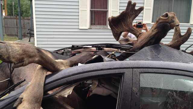 Moose vs. car