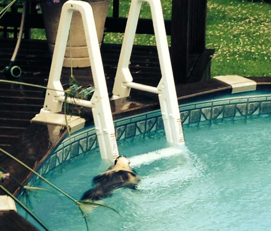 A couple in the town of Albion found a skunk swimming in their pool Saturday morning. The skunk was eventually pulled from the water. Click through to check out photos from the incident.