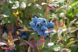 Pick wild Maine blueberries