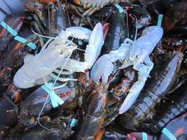 The odds of finding an albino lobster are one in 100 million.
