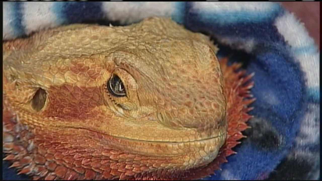 Maine veterinarian Sandra Mitchell needs helping transporting a sick, elderly lizard to Florida. Beardie, a bearded dragon lizard, needs emergency cancer surgery, but cannot be flown.