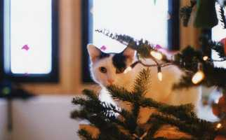 Christmas week was the one week a year that Nin got to experience a live tree. The rest of the year he lived above treeline (besides his annual trip to the valley to the vet, where he was a little to stressed out to take in the scenery).