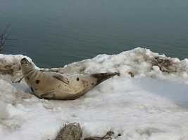 A seal was helped back into the Atlantic Ocean, after getting stuck on top of a snow bank in Wells.