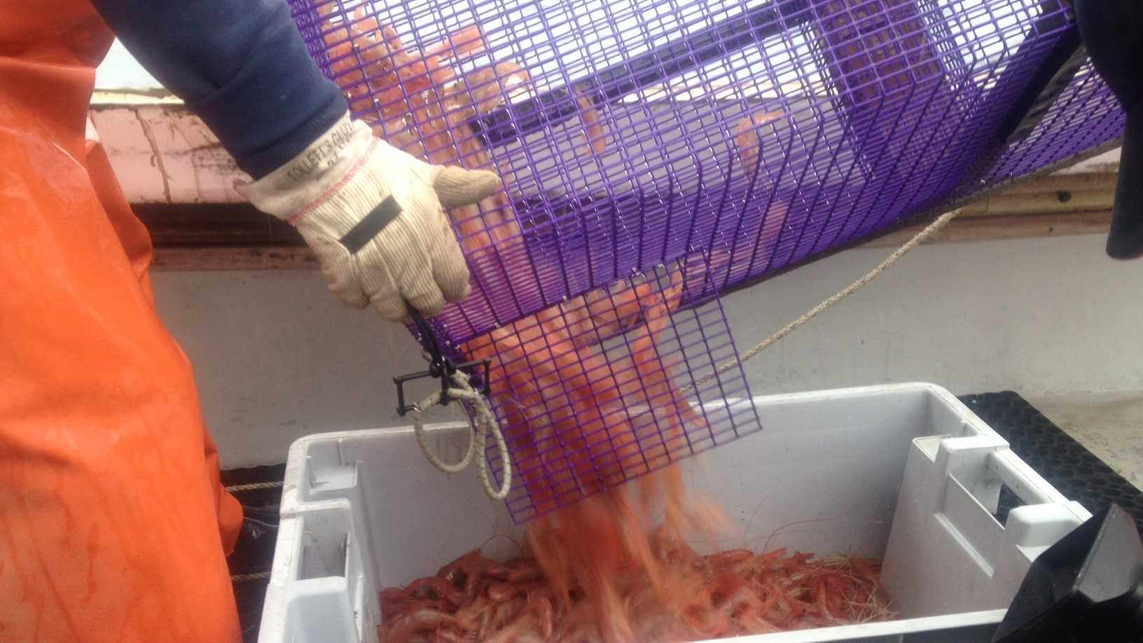 Gamage estimates he brought in 60 or 70 pounds of shrimp Tuesday, but he says that's not an indication that there are plenty of shrimp in the Gulf of Maine.