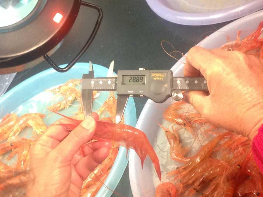 Biologist Fran Pierce measures the shrimp Gamage catches