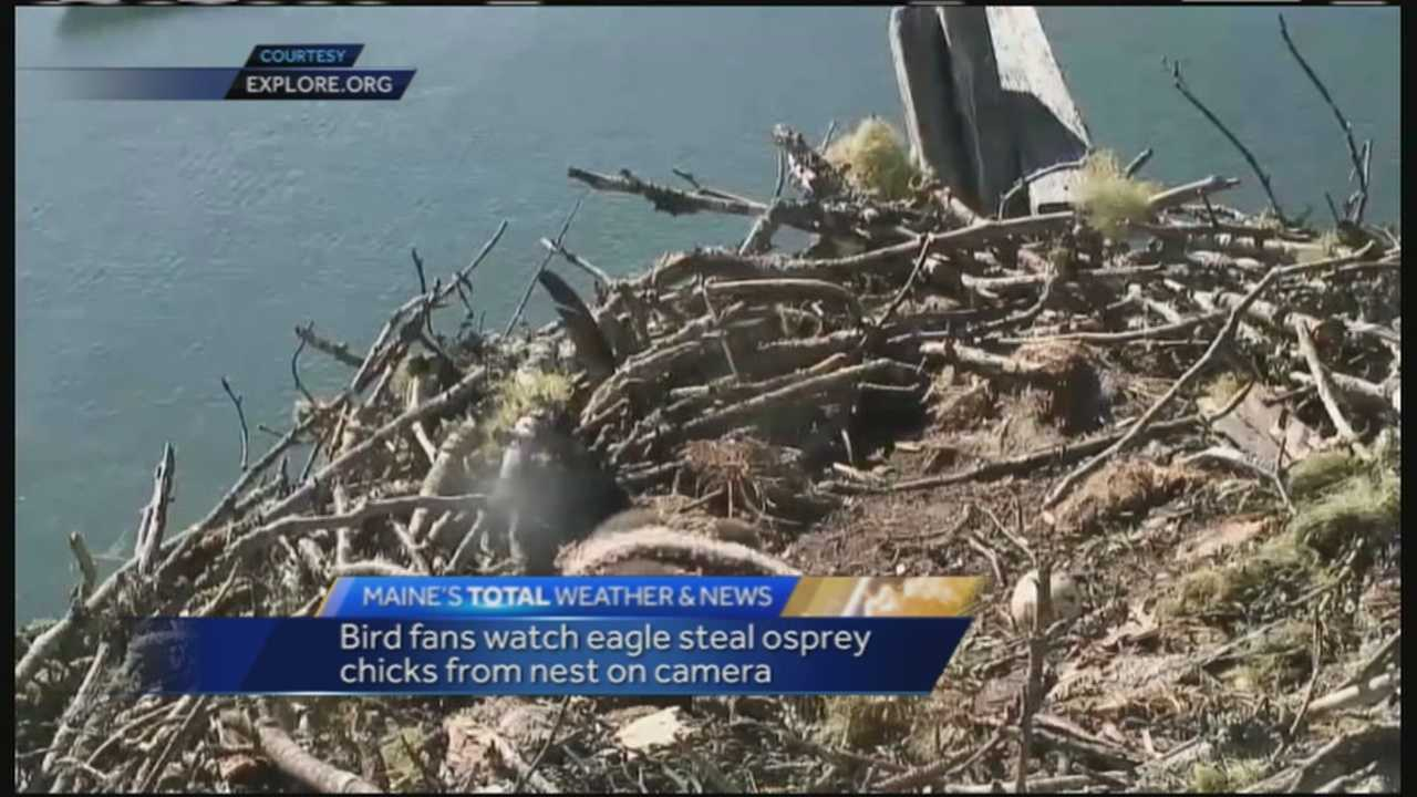 An Eagle was caught on camera stealing two osprey chicks from a nest. The camera was set up by Explore.org for people to monitor the nest.