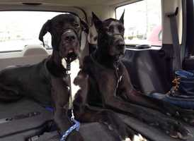 Katie loves animals. She has two cats and two large dogs: Great Danes Lucy and Tony.
