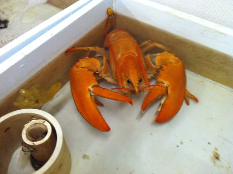 The lobster is orange because its shell lacks blue pigment.
