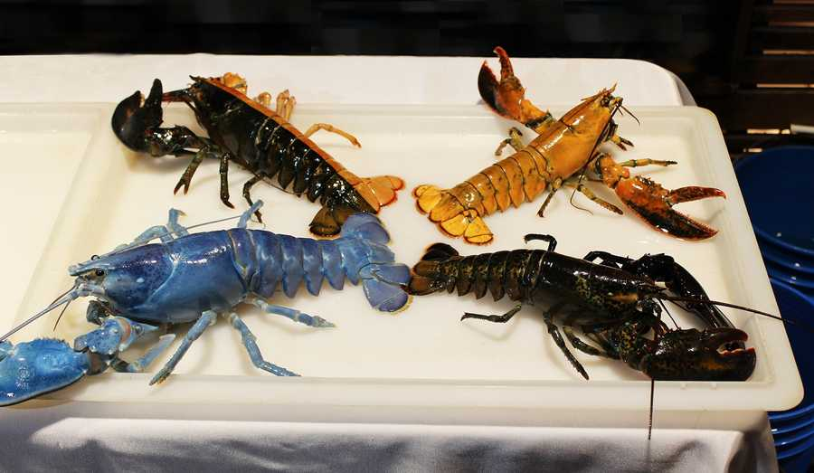 An array of oddly colored lobsters provide an official welcome to Domenic who is in the lower right. Domenic sports a normal dark color on top but on his bottom side, he has a split orange and black color pattern.