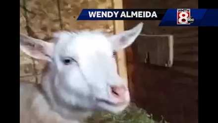 Videos of a Maine goat have been seen more than a million times. (Courtesy: Wendy Almeida)