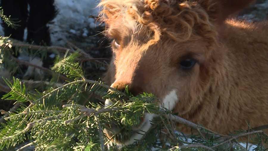 Christmas Tree Recycling Gloucester : Farm looks for christmas trees alpacas