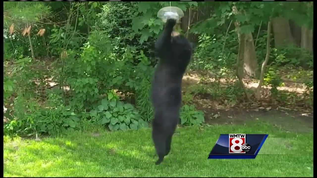 Police departments in southern Maine are seeing an uptick in bear sightings.
