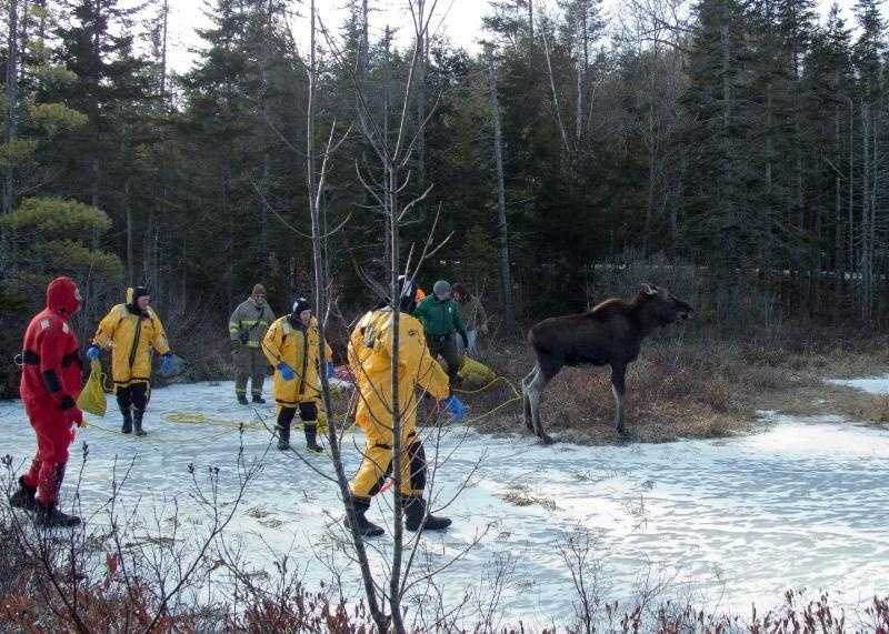 Washington firefighters and Fish and Game conservation officers wait for the moose to regain some footing before herding it away from the ice.