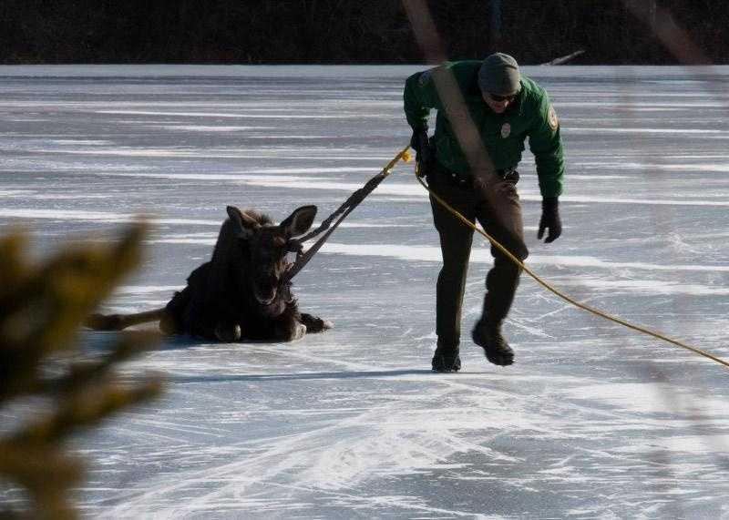 Officer Eric Hannett helps slide the moose to the shoreline.