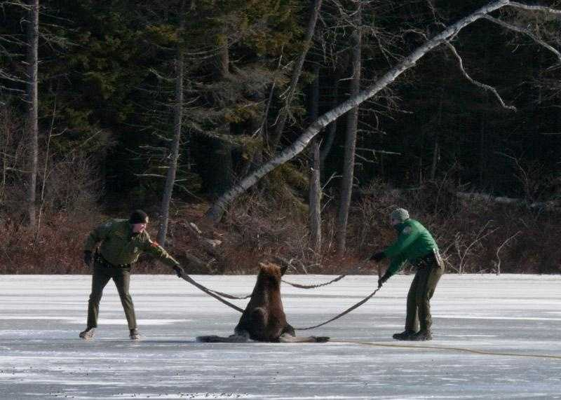 Conservation officers Bill Boudreau (left) and Eric Hannett work a sling around the young moose on Butterfield Pond in Pillsbury State Park in Washington.