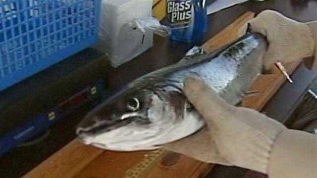 Winni Derby fish