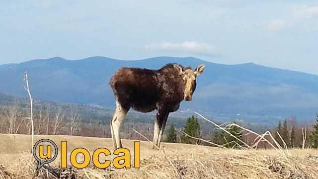 Moose on u local