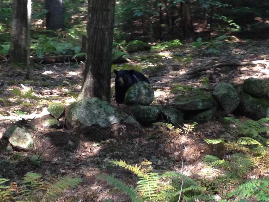 A News 9 crew spotted this bear while taping a story in Hopkinton.