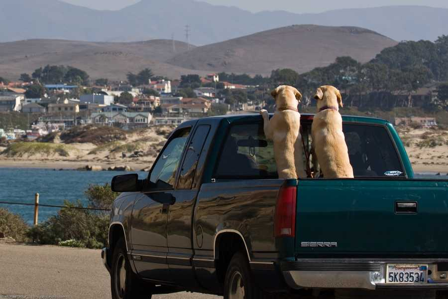 True. However, the dog must be secured enough in the pickup truck so that it does not fall or jump from the vehicle.The above photo is an example of what not to do.