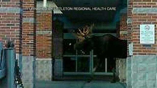 Littleton moose