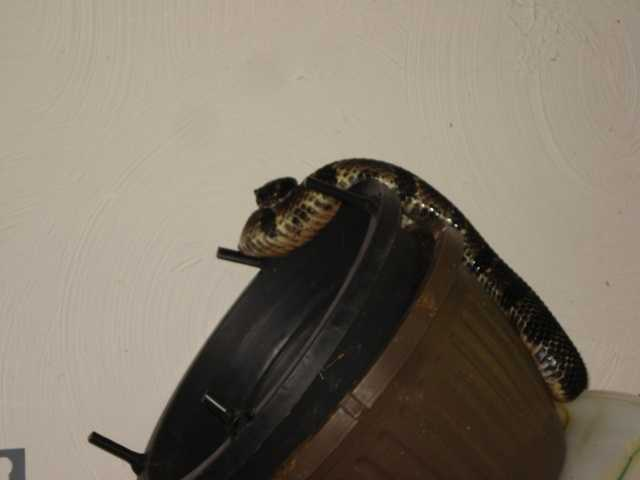 This rare venomous snake was discovered in the garage of a home in Raymond on Monday morning.