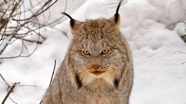 Canada lynx, (Lynx canadensis)