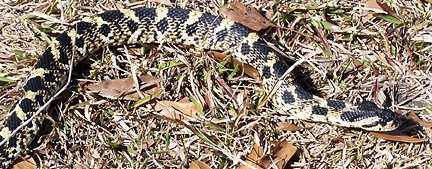 Eastern hognose snake, (Heterodon platyhinos)