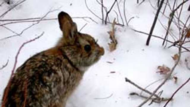 New England cottontail, (Sylvilagus transitionalis)