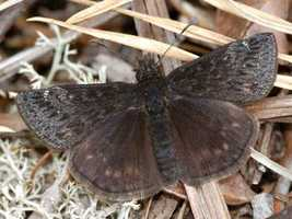 Persius dusky wing skipper, (Erynnis persius persius)