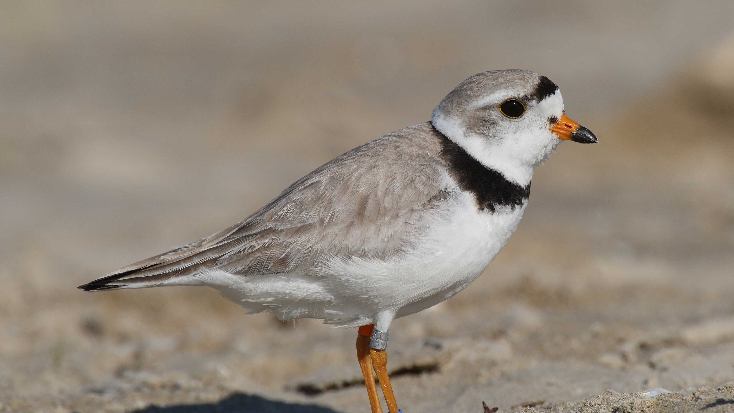 Piping plover, (Charadrius melodus)