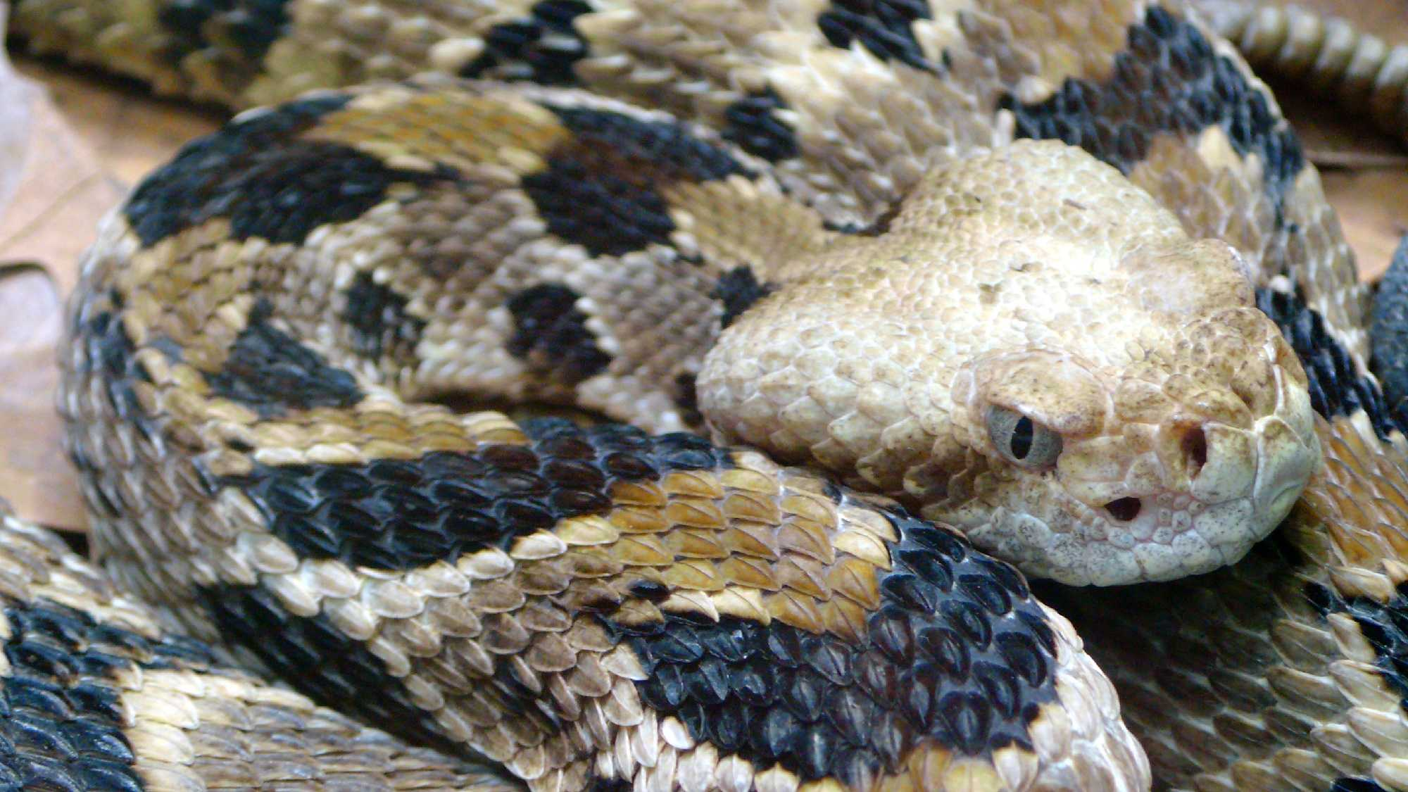 Timber rattlesnake, (Crotalus horridus)
