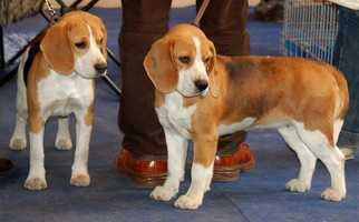 Kevin says he had many dogs growing up, and currently has a 13-year-old miniature Beagle named Shilo. (Pictured is a generic shot of two beagles)