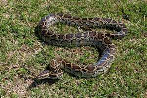 Established populations of the Burmese Python, native to Southeast Asia, were first reported in 2000.  The introduction is believed to be a case of escaped or intentional release. The Burmese Python's primary impact includes preying on native and endangered species.  The current distribution includes South Florida.