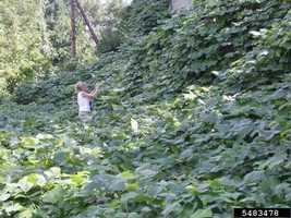 Native to Asia, the Kudzu plant was intentionally introduced in the late 1800s for erosion control.  Now growing in more than half of the country, the Kudzo crowds out native species by growing more than a foot a day under the right conditions. With no natural predators the invasion is likely to continue.