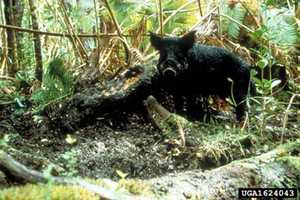 The wild boar or feral hog is one of the more feared invasive species. Originally introduced as a food source in the 1500s, the boar now stalks the undergrowth of the southern United States and parts of the far west, damaging native plants and commercial crops.