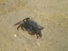 As the name suggest, the European Green Crab reached the east coast of the U.S. in 1817 and the west coast in the 1980s through ballast water discharge.  If you are a fan of clams and scallops this little invader is competing with you for food.