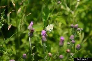Many people think of far away lands when it comes to invasive species, not just over the northern border. That is exactly where the Canada Thistle originated.  The Canada Thistle now crowds out native species in large parts of the eastern U.S.